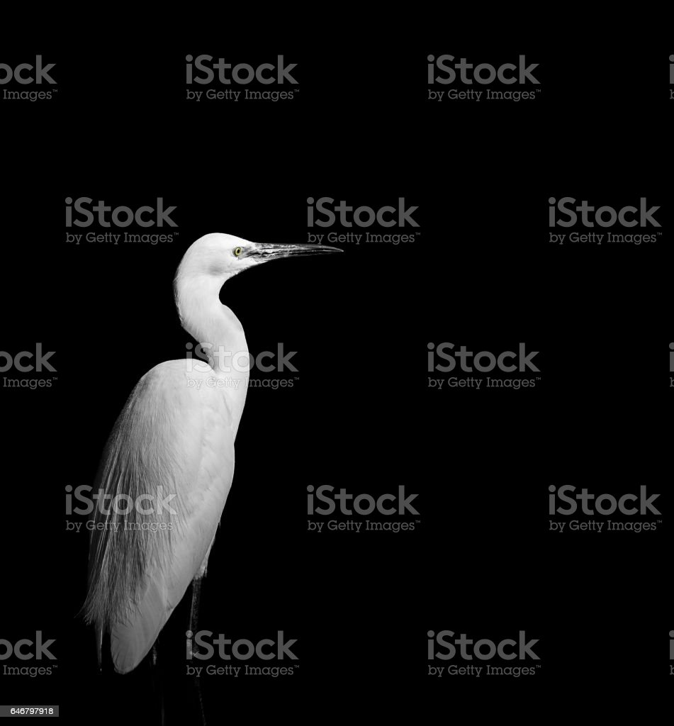 Beautiful monochrome image of White egret stock photo