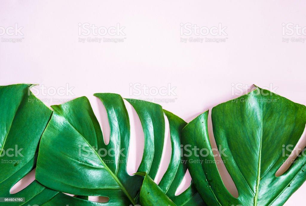 Beautiful monstera leaves stock photo