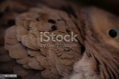 Beautiful Morning dove nesting in flower box - detail macro