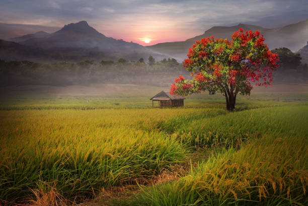 Beautiful morning on the ricefield stock photo