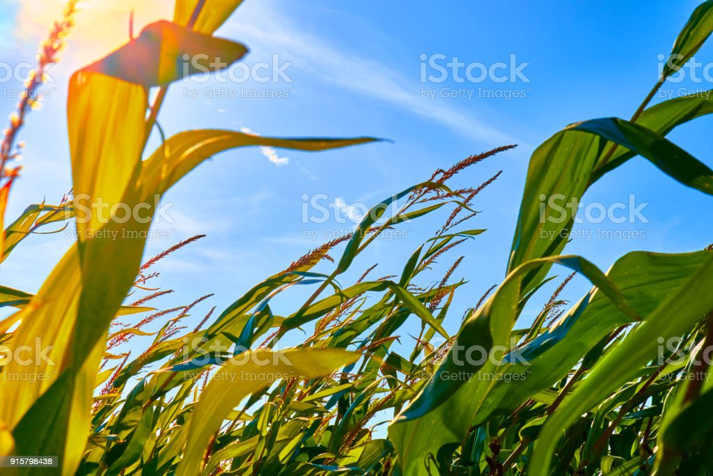 Beautiful morning sunrise over the corn field close up view stock photo