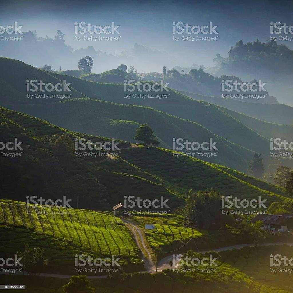 Morgen Aussicht auf grüner Tee-Plantage. – Foto