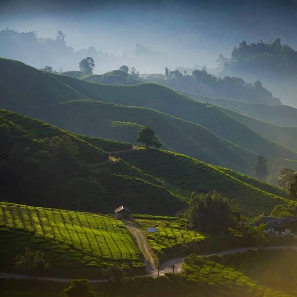 morgen aussicht auf grüner tee-plantage. - darjeeling tee stock-fotos und bilder