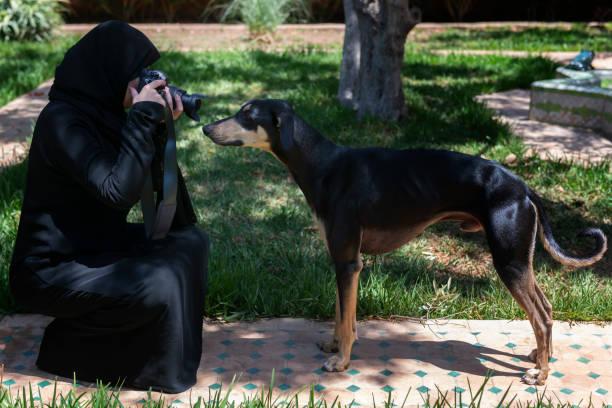 Beautiful Moroccan Arab Muslim woman with traditional black hijab, photographs a young Sloughi dog (Arabian greyhound), inside a backyard garden. stock photo