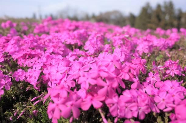 Beautiful Moss phlox,  Japan stock photo