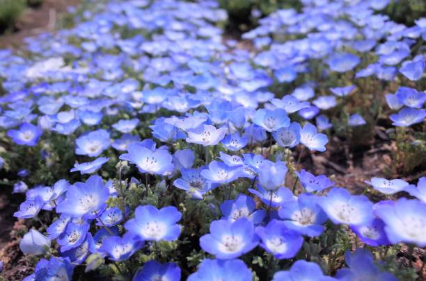 Beautiful Moss phlox, , Japan stock photo