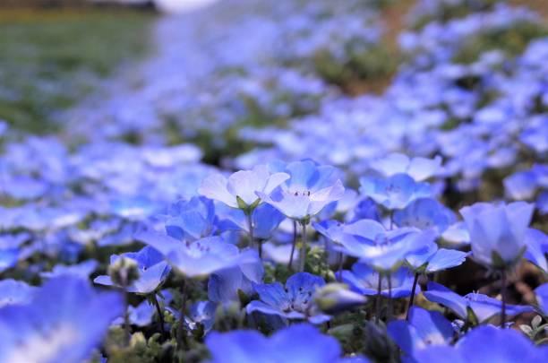 Beautiful Moss phlox,, Japan stock photo