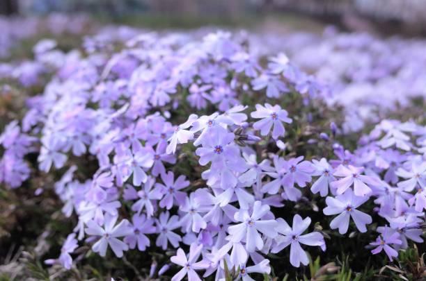 Beautiful Moss phlox, stock photo