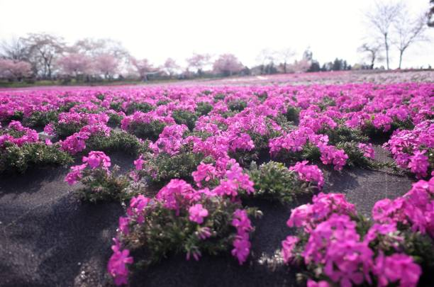Beautiful Moss phlox, pink mossy cherry blossoms spread all over the park in Hitsujiyama Park in Chichibu City, Saitama Prefecture, Japan. stock photo