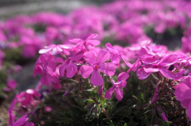 Beautiful Moss phlox, pink mossy cherry blossoms spread all over the park in Hitsujiyama Park in Chichibu City, Saitama Prefecture, Japan stock photo