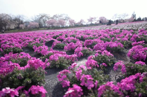 Beautiful Moss phlox, pink mossy cherry blossoms spread all over the park stock photo
