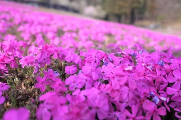 Beautiful Moss phlox, pink mossy stock photo