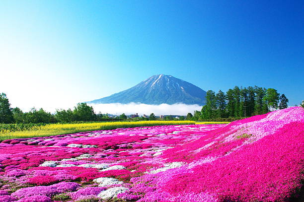 beautiful moss pink garden - sapporo stock photos and pictures