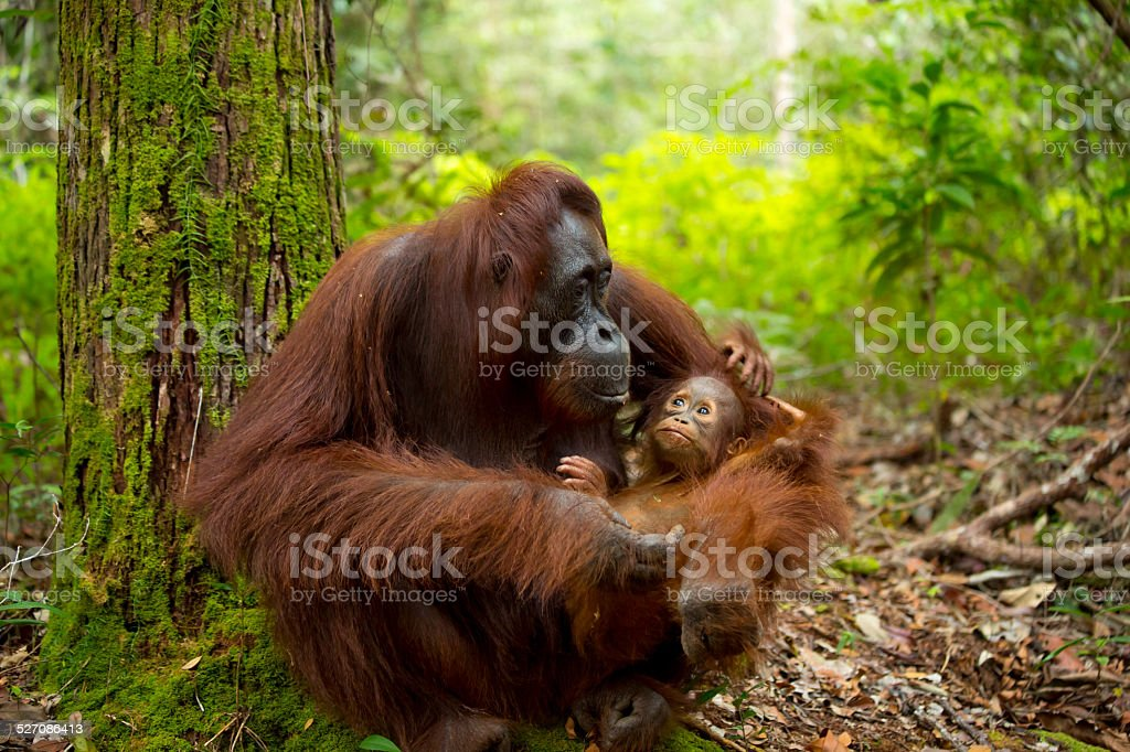 Beautiful mother and baby orangutan. stock photo