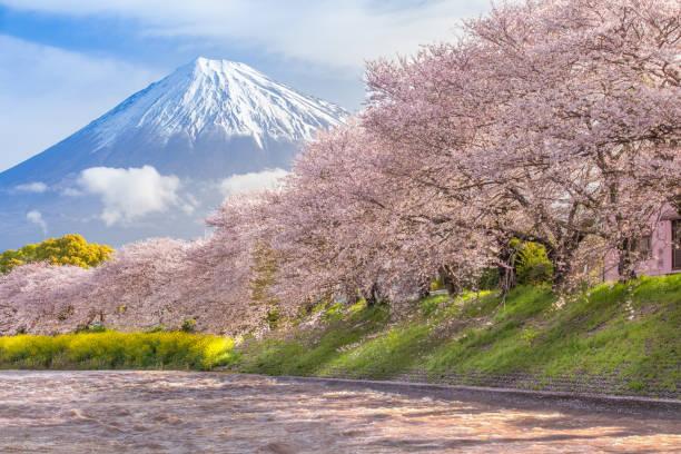 Beautiful Mountain Fuji and sakura cherry blossom stock photo