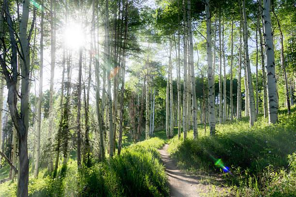 magnifique sentier de randonnée de montagne au trembles de vail, dans le colorado - arbre à feuilles caduques photos et images de collection