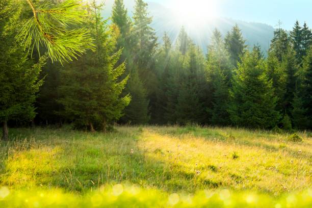 Beautiful mountains landscape. Ukrainian Carpathians, Europe. Morning sunrays falling on a forest glade and fir trees glade stock pictures, royalty-free photos & images