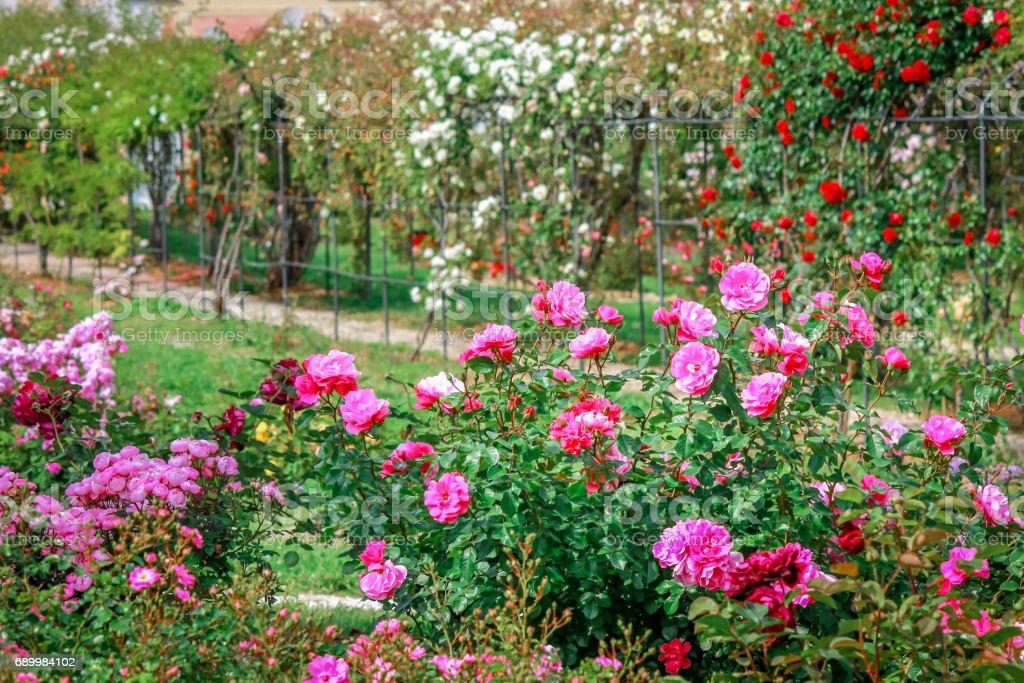 Hermosa Multi Coloreada De Rosas En El Jardín Ornamental ...