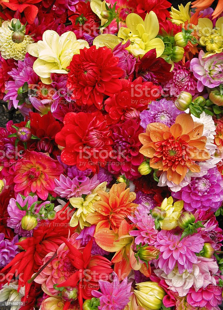 Beautiful multicolored dahlias with water drops royalty-free stock photo