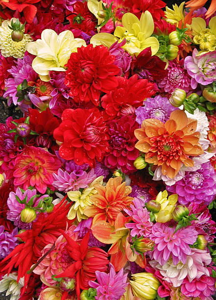 Beautiful multicolored dahlias with water drops stock photo