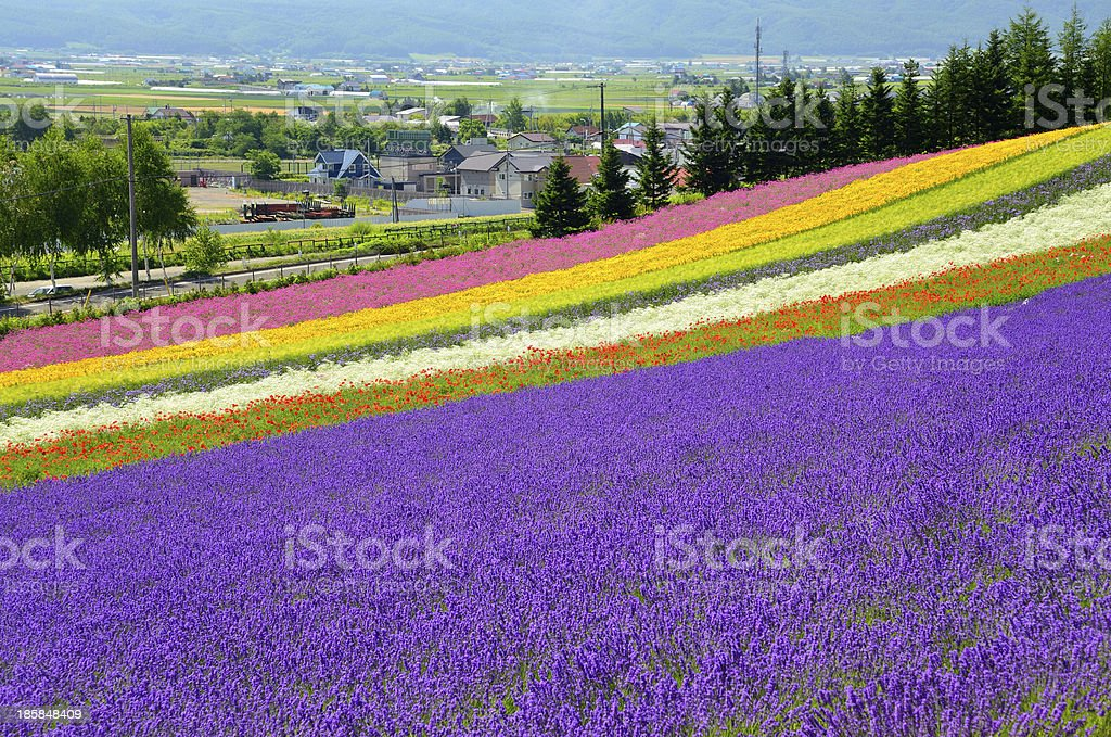 A beautiful multicolored field in Hokkaido, Japan stock photo
