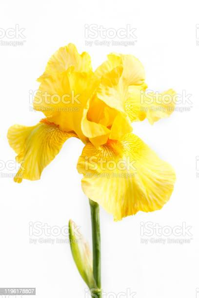 Photo of Beautiful multicolored iris flower isolated in white. Close up.