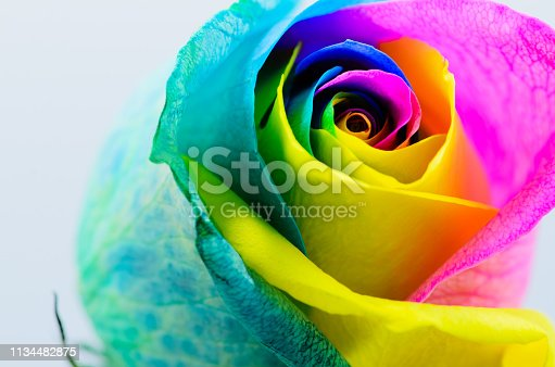 Beautiful multicolored rose on a white background. Rose Bud close-up. Rainbow rose. Horizontal photo Very beautiful colored rose on white background. Rose Bud close-up. Rainbow rose. Horizontal photo