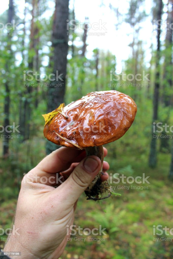 Beautiful mushroom of Boletus badius in the hand stock photo