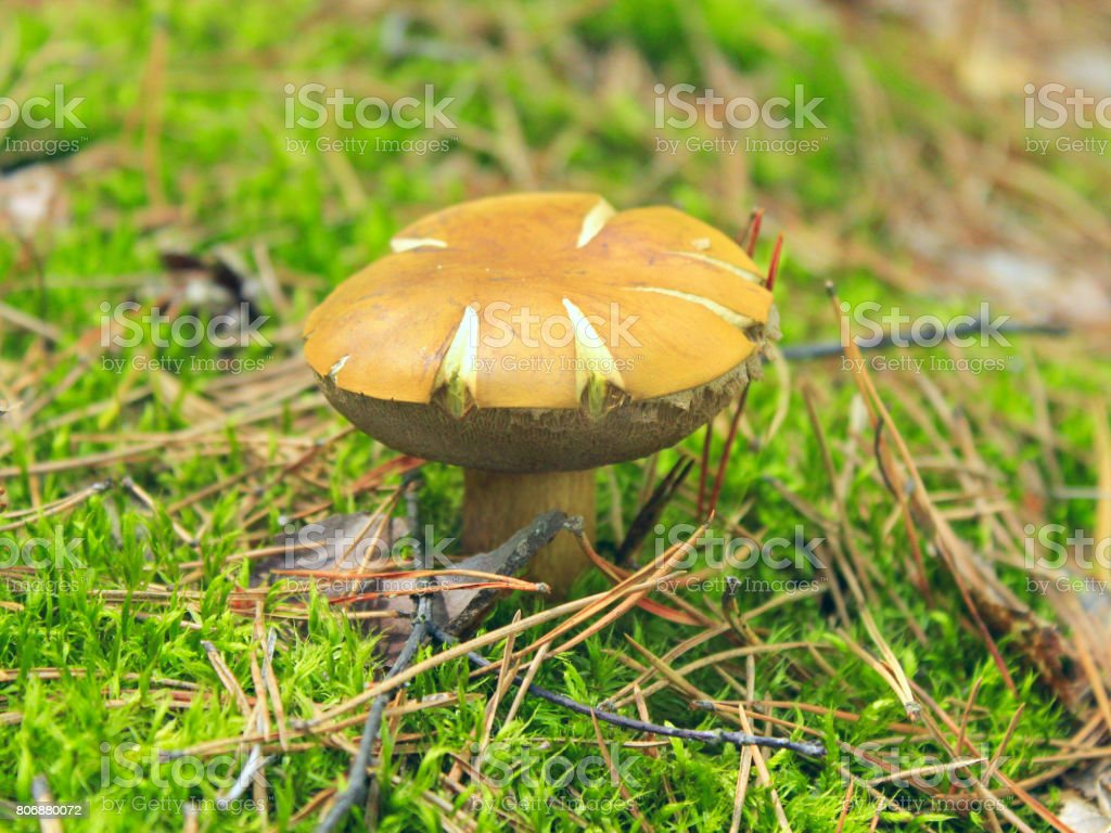 Beautiful mushroom of Boletus badius stock photo