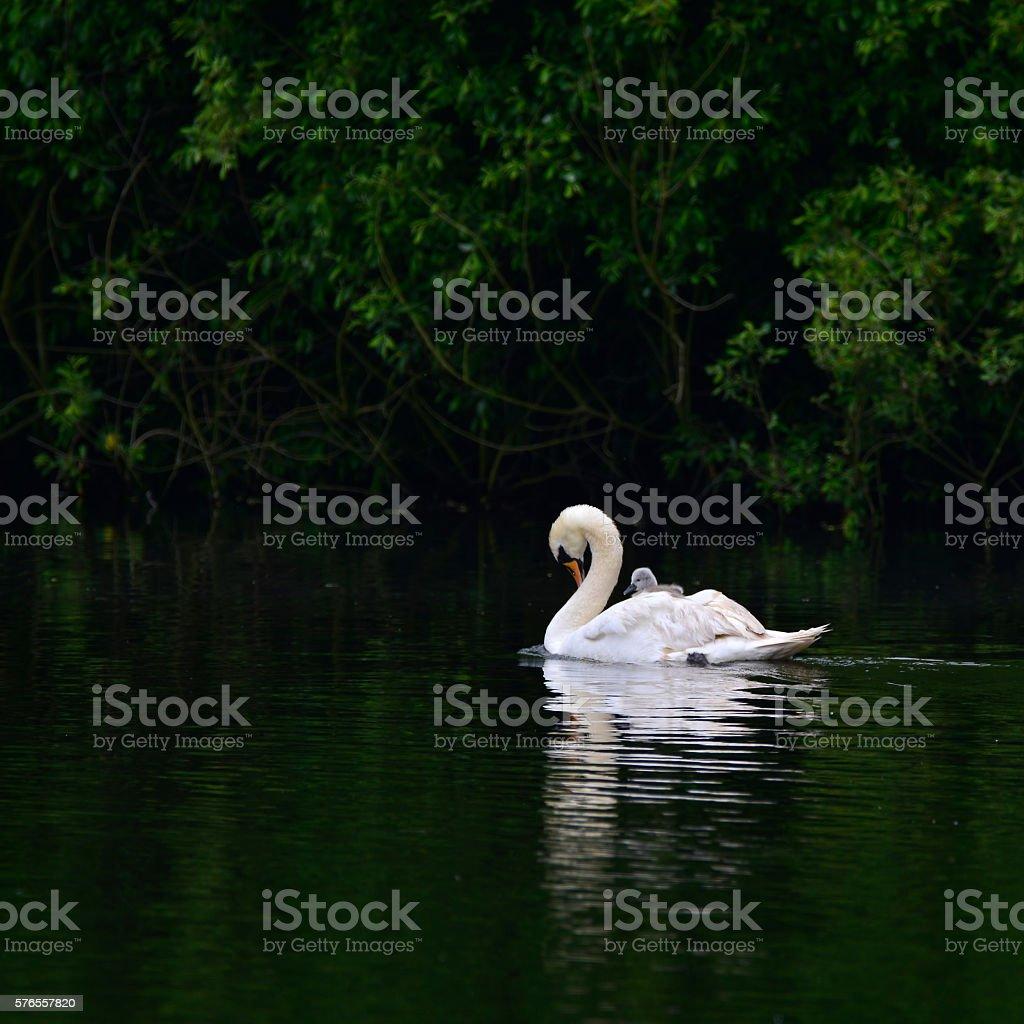 Beautiful mute swan cygnus olor with cygnet on back stock photo