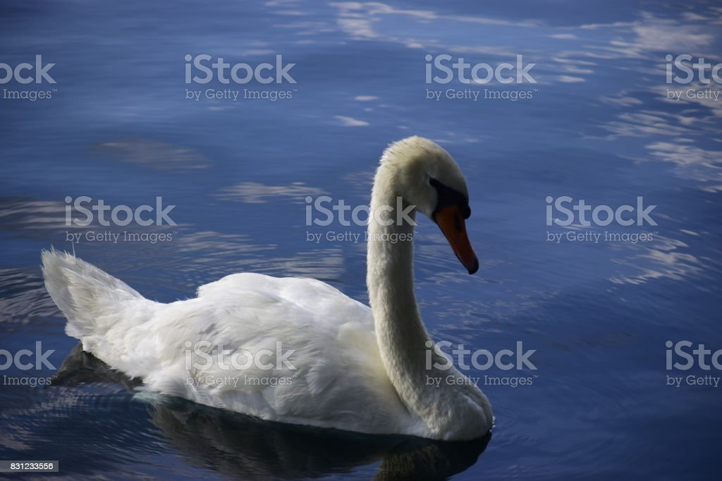 A beautiful mute swan on the water stock photo