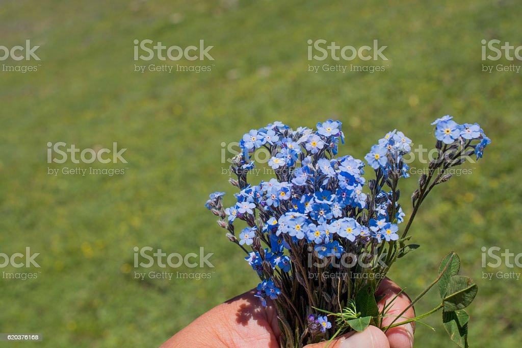 Beautiful Myosotis flowers in hand in nature foto de stock royalty-free
