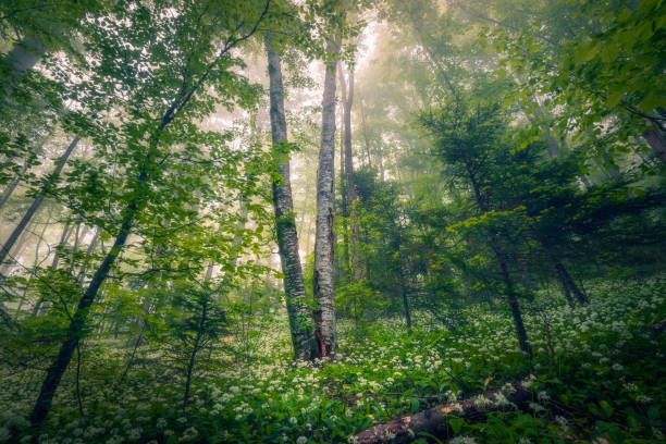 Beautiful mysterious forest with fog and green leaves with wild flowers on the ground stock photo