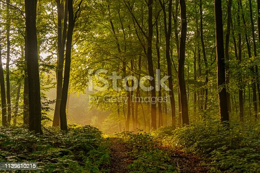 Beautiful, mysterious sunset in the forest with sunbeams between the trees and many green plants in Sundern, Sauerland, Germany