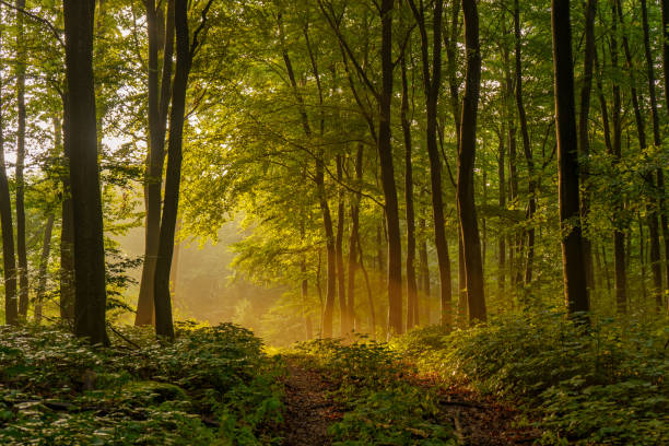 Beautiful, mysterious sunset in the forest with sunbeams between the trees and many green plants in Sundern, Sauerland, Germany Beautiful, mysterious sunset in the forest with sunbeams between the trees and many green plants in Sundern, Sauerland, Germany between stock pictures, royalty-free photos & images