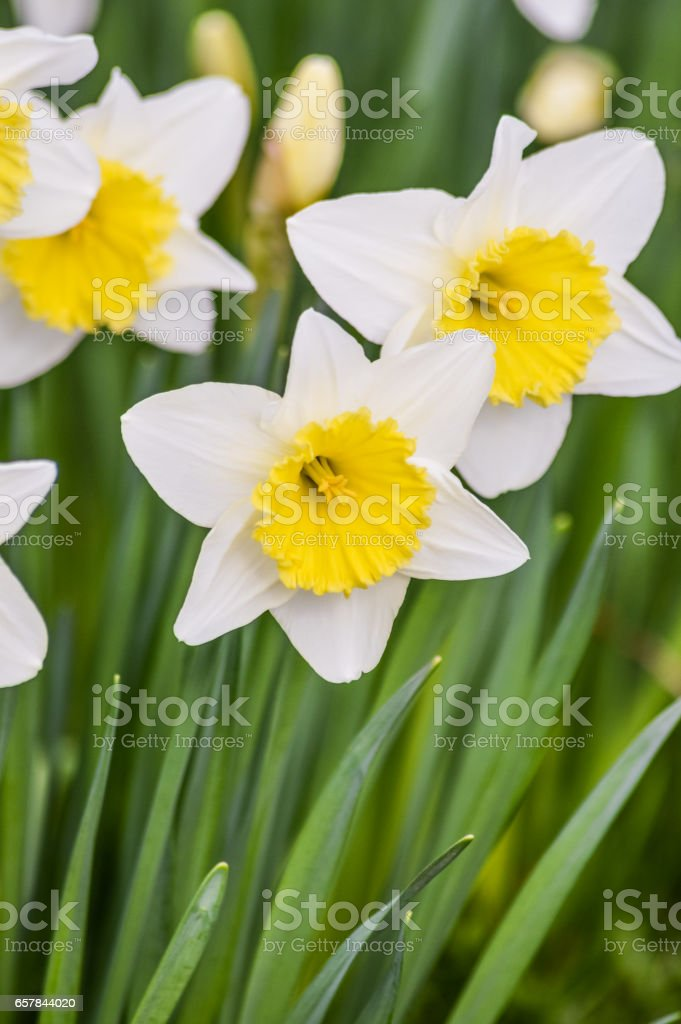 beautiful narcissus flowers closeup in spring sunlight stock photo