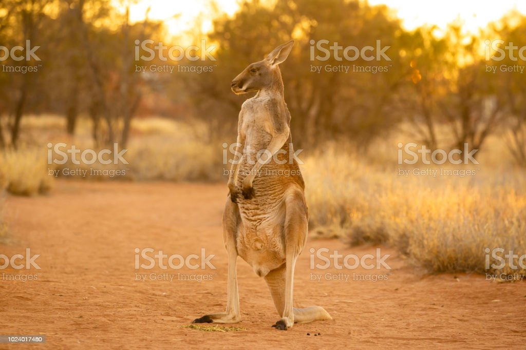 Beautiful native Australian red Kanagroo bathes in the glorious afternoon sunlight stock photo