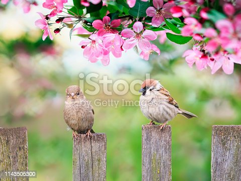 istock beautiful natural background with birds sparrows sit on a wooden fence in a rustic garden surrounded by pink flowers veto apple on a sunny day in spring 1143505300