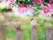 beautiful natural background with birds sparrows sit on a wooden fence in a rustic garden surrounded by pink flowers veto apple on a sunny day in spring