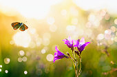 natural background with delicate lilac flowers bells grow on a green summer meadow and a small blue butterfly flutters on a bright the sunlight