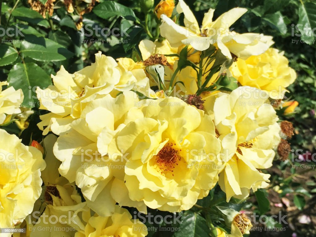 Beautiful Natural Yellow Rose In The Garden Stock Photo More