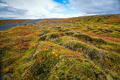 Photographed in fall in Denali National Park, vivid color in the tundra and snowy mountains and river in background