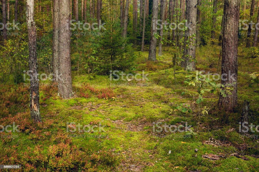 Beautiful Nature Landscape of Pine forest royalty-free stock photo