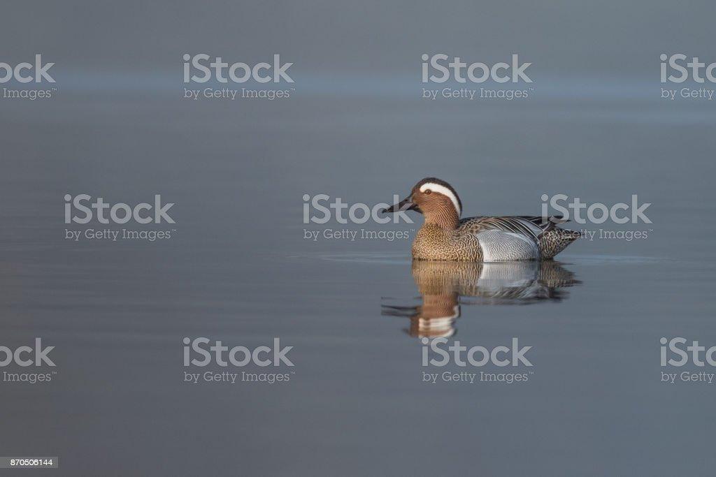 Beautiful nature scene with bird Gargane (Anas querquedula). stock photo