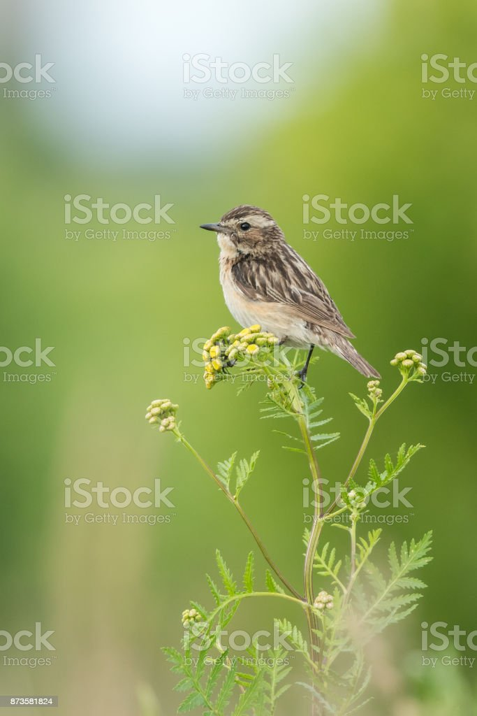 Beautiful nature scene with bird whinchat (Saxicola rubetra). stock photo