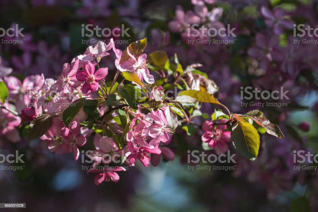 Beautiful Nature Scene with Blooming Tree and Sun Flare royalty-free stock photo