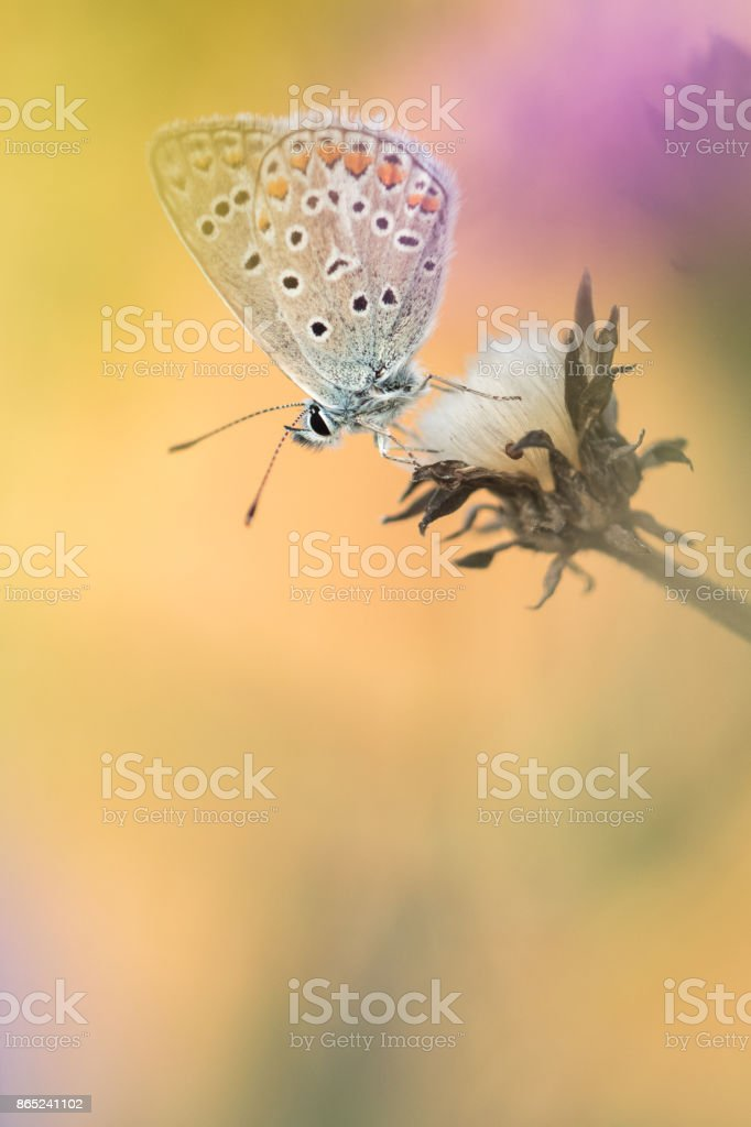 Beautiful nature scene with butterfly Common blue (Polyommatus icarus). stock photo