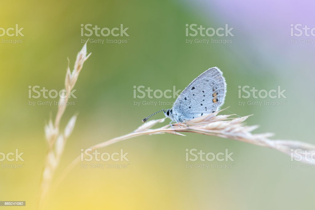 Beautiful nature scene with butterfly Short-tailed Blue (Cupido argiades) stock photo