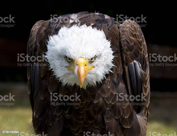 Beautiful north american bald eagle picture id579416094?b=1&k=6&m=579416094&s=612x612&h=il6szj6m da phn4j8gk3xkkof uhgtljawgsm6y 5q=