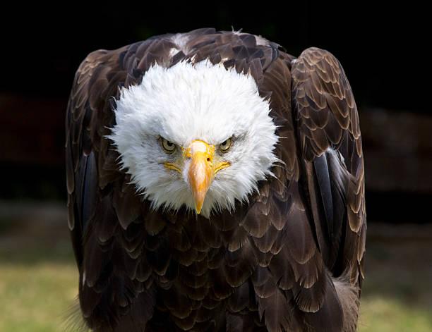 Beautiful north american bald eagle - Photo